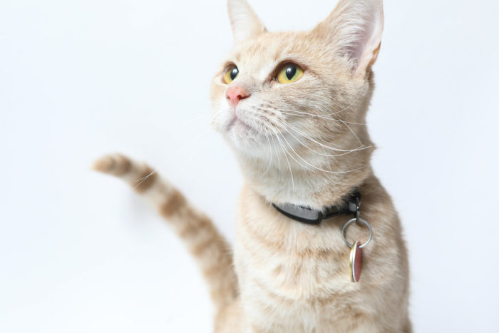 Sandy the dilute Calico | The.Rohit | Flickr